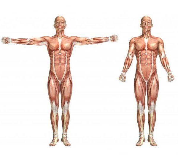 Sistema muscular do corpo humano representado em manequim 2d